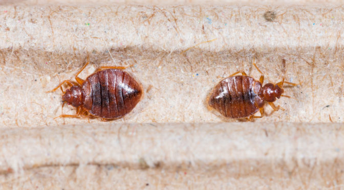 What to Expect from a Bed Bug Removal Service in Mesa AZ